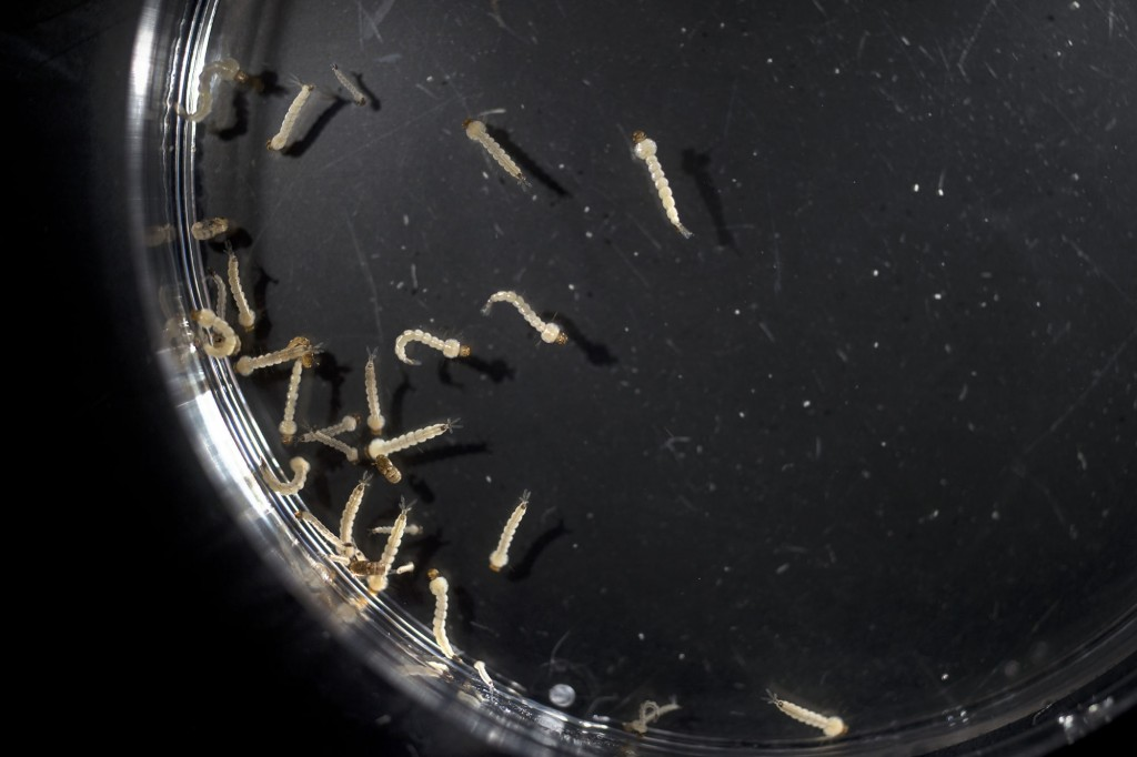 04/27/2016: Aedes aegypti mosquito larvae and pupae specimens studied in Immo Hansen's molecular vector physiology lab at NMSU. (Photo by Darren Phillips)